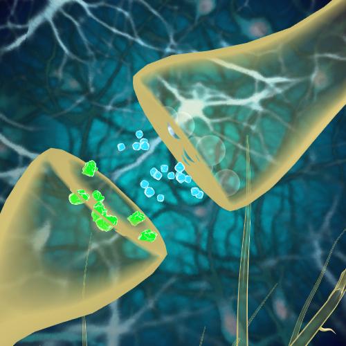 آناتومی و فیزیولوژی - اسکیزوفرنی: آزادکردن دوپامین در  PFC