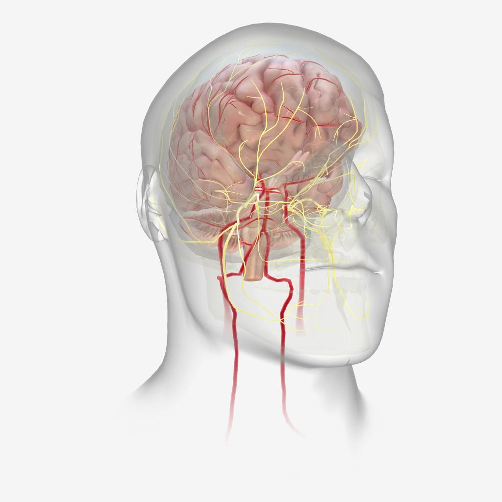 آناتومی و فیزیولوژی - حساسیت محیطی میگرن